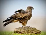 عکس زیبا پرنده شاهین روی سنگ