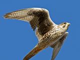 عکس پرواز پرنده شاهین