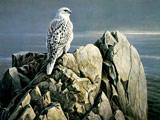 شاهین سفید روی صخره