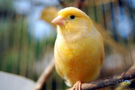 عکس قناری canary wallpaper