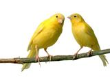 عکس قناری های زرد