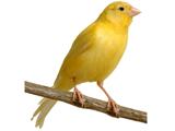 پرنده قناری زرد