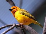 پرنده زرد زیبا روی شاخه درخت