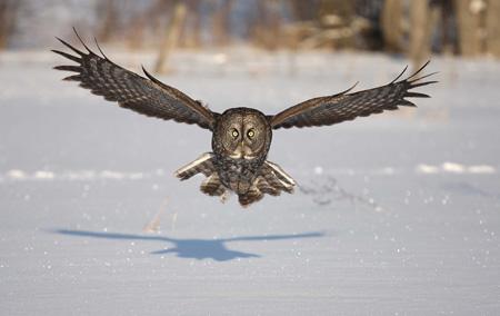 پرواز پرنده جغد روی برف ها owl bird fly snow