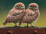 عکس دو پرنده جغد کنار هم