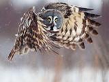 عکس پرواز پرنده جغد