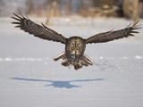 پرواز پرنده جغد روی برف ها