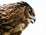 عکس جالب از پرنده جغد