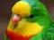 مرغ عشق طوطی زیبا