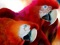 پوستر طوطی های قرمز
