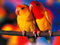 مرغهای عشق زرد زیبا