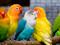 زیباترین پرندگان خانگی