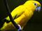عکس طوطی زرد