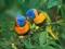 والپیپر زیبای طوطی های رنگی