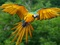 طوطی زرد در حال پرواز