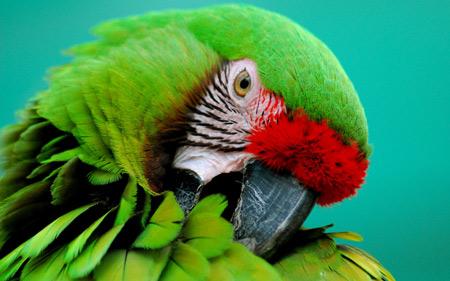 عکس زیبا از سر پرنده طوطی سبز green parrot animal wallpaper