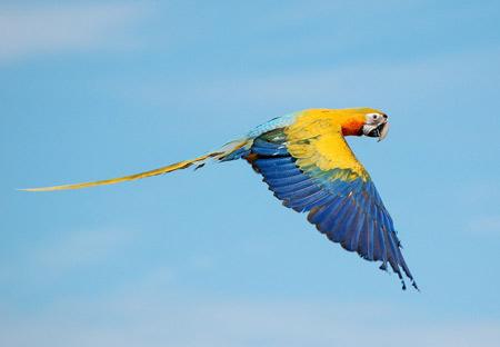 عکس پرواز پرنده طوطی parrot fly sky