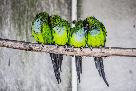 پرندهای طوطی سبز روی شاخه group birds warm