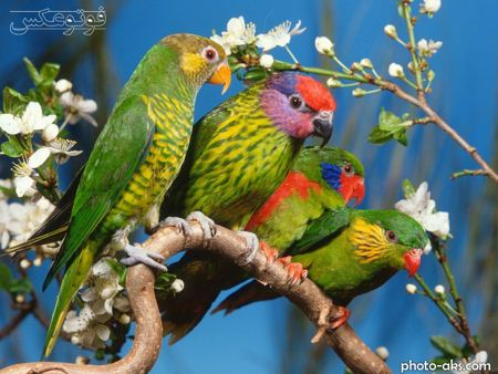 مرغ عشق morgh eshg