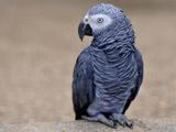 پرنده طوطی کاکاتو سیاه
