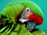 عکس زیبا از سر پرنده طوطی سبز