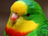 مرغ عشق - طوطی زیبا