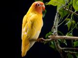 طوطی زرد