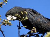عکس جالب طوطی سیاه