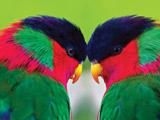 عکس دو مرغ عشق رنگارنگ زیبا