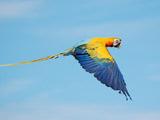 عکس پرواز پرنده طوطی