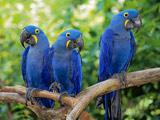 عکس طوطی ماکائو آبی