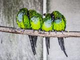 پرندهای طوطی سبز روی شاخه