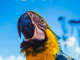 عکس طوطی ماکائو آبی طلایی