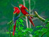 زیباترین طوطی های برزیلی