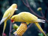 عکس پرنده طوطی زرد