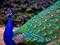 طاووس آبی زیبا