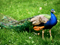 طاووس پرنده ملی هندوستان