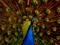 زیباترین پرندگان - طاووس