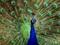 دم رنگارنگ طاوس