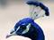عکس کاکل طاووس آبی