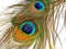 عکس پر طاووس