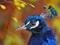 عکس سر طاووس