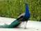 عکس طاووس زیبا