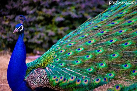 طاووس آبی زیبا blue peacoak