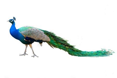 عکس پرنده زیبا طاووس peacock bird picture