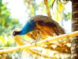عکس پرنده طاووس زیبا