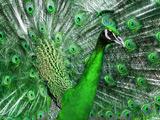 عکس طاووس زیبا با پرهای سبز