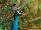 صورت زیبای پرنده طاووس