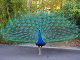 طاووس زیبا با پرهای باز