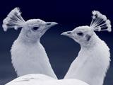 عکس زیبا از سر دو طاووس سفید